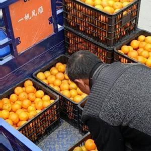 湖南湘西保靖县清水坪椪柑卖相口感俱佳,正处于热卖中,13...
