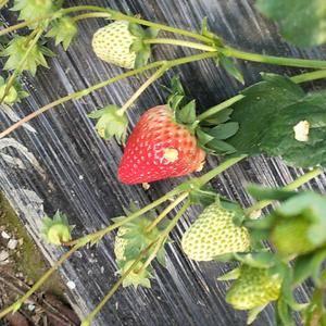 红颜草莓大量上市