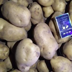 大量批发代办河北围场和内蒙土豆张薯226,沙土地种植,个...