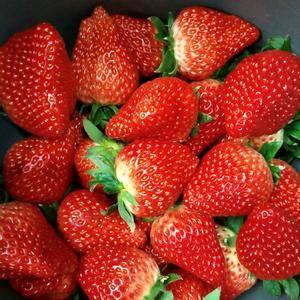 保定顺平万亩九九草莓现在大量上市