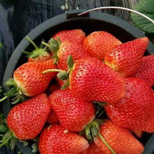 妙香香草莓。甜查理,货多量大,一件代发。各种包装。187...