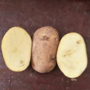 晋薯16,大白花土豆开库中,需要的老板速度联系