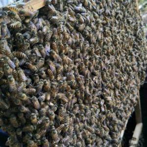 蜜蜂多,产子好,可提供技术培训,欢迎各位到我蜂场考察