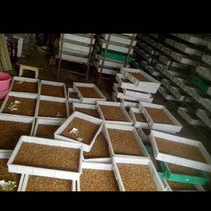 大量出售鲜活黄粉虫,种虫,虫卵长年货供,全国大部份地方可...