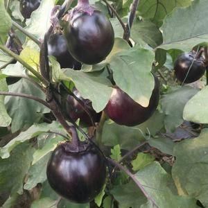 净棚温室大棚圆茄大量上市中,价格便宜,四毛到六毛。