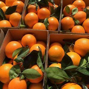 秭归脐橙,品质好,口感好,产地批发,果园直销,欢迎全国各...