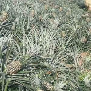 菠萝长期批发
