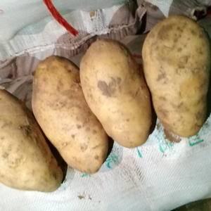 河北围场土豆代办,夏波蒂白皮白肉,沙土地种植皮毛干净,薯...