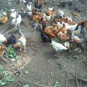有纯土鸡出售,鸡龄在10到12个月。纯玉米喂养,不添加任...