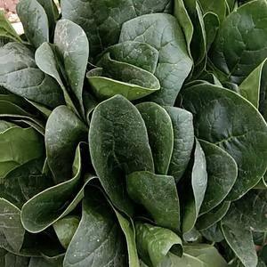 菠菜大量走货中,质量很好价格美丽。求全国各地客户老板们收...