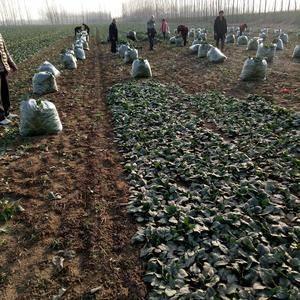 基地菠菜大量供应中