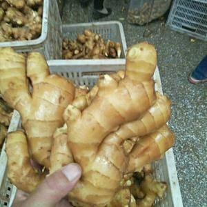 山东生姜种植产区18264959888常年批发生姜,大小...
