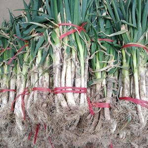 信阳市罗山县铁杆大葱,白亮,硬度好,粗细都有。