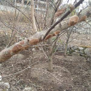 请教一个问题,哪位知道李子树上出现的这个问题是什么情况?谢谢了!