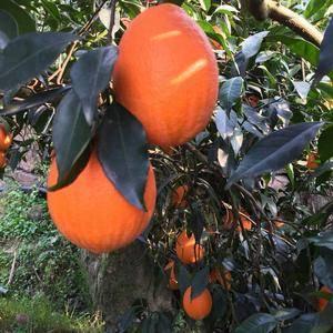 本人大量出售秭归脐橙、长虹、纽荷尔、中华红脐橙、伦晚脐橙...