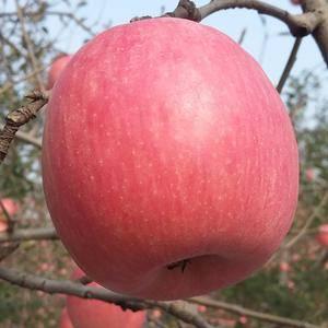 粉红佳人苹果:纸袋,65起步,商品果:2.1-2.3,次...
