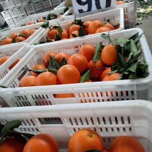 湖南的椪柑产量又居中国第一,湘西的椪柑产量又是全省第一,...