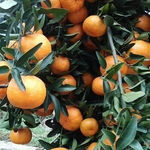 大量带叶椪柑出售,果面干净,个头偏大。可带叶采果,口感纯...