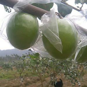 本户果子上市了,上市了 果子个大 口感甜美产地广西梧州,...