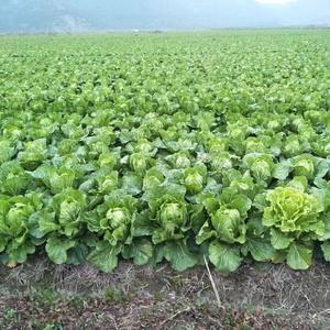还有最后100亩大白菜,有的速度,2000一亩