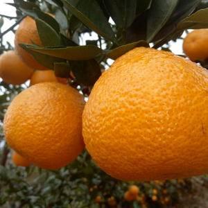 该品呈倒卵圆形,多平蒂,有沟纹,果面橙黄,有光泽,油浸状...