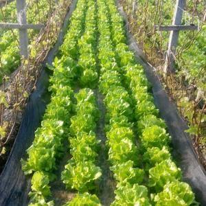 本地大棚生菜、苦菊、油麦菜等蔬菜,量大、质优。 收货场...