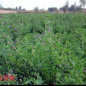 供应牧草种子,护坡种子,绿化种子,等,热线1550662...