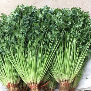 高55公分铁杆香菜,价格2.3