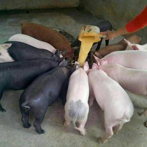 山东仔猪。生猪最大交易市场,仔猪10-40公斤,生猪90...