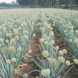 专业繁育国内外大葱种子!13792604288刘付尧。