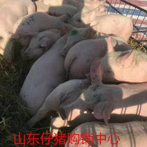 13791510446山东仔猪苗猪,三元仔猪,长白仔猪,...