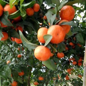 本人供应大量砂糖橘和皇帝柑,量多万货美洗果打蜡全套服务电...