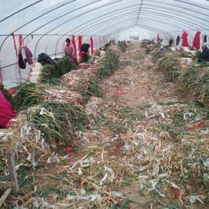 新野县照军农作物种植专业合作社,种植铁杆大葱,钢葱,己大...