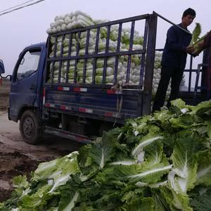 北京新三号大白菜正在装车中,质量好价格低,有需要的新老客...