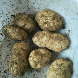 恩施硒土豆,口感粉糯,土豆种子