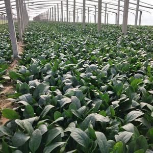 淄博高青菠菜产地直销地150000亩大小菠菜产地直销地。...