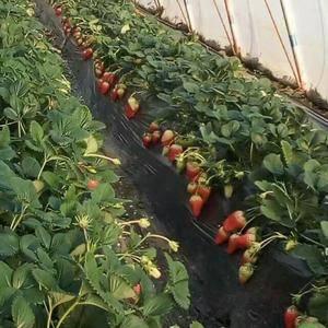 青岛平度草莓大量现货,需要老板来电咨询,17664078...