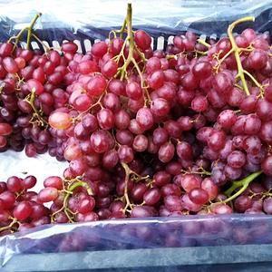 山东乳山市大量供应科瑞森葡萄,欢迎新老客户光临。包吃住,...