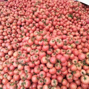 硬粉西红柿大量上市。价格便宜。货量大。颜色红硬度高