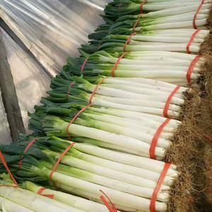 铁杆大葱大量供应。葱白长。粗度好。代发毛葱。加工净葱。