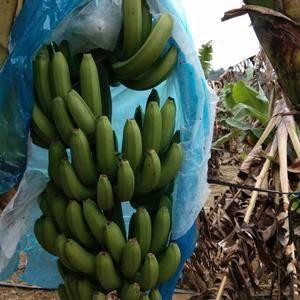 本人承接广西百色地区各市县的香蕉代理业务