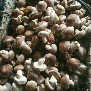 大量出售鲜平菇,香菇 姬菇品质优质基地直发全国走货每天可...