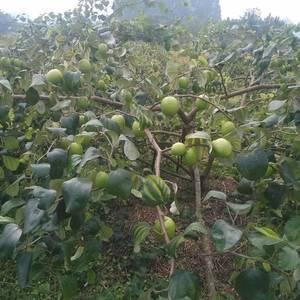 台湾大青枣苗供应,当年种植当年挂果。
