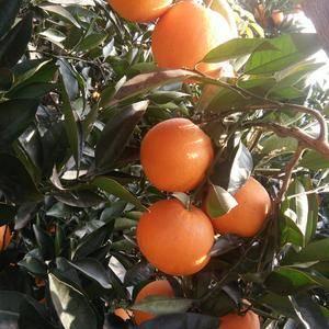 湖北秭归脐橙全年供应,普脐,圆红纽荷尔,长红纽荷尔,血橙...