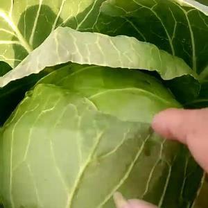 河北邯郸南大部蔬菜专业(代收代销)甘蓝,全国各地 基地合...