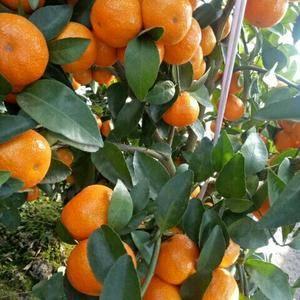 桂林荔浦砂糖橘现已上市中,诚邀各地客商前来荔浦看果订货。...