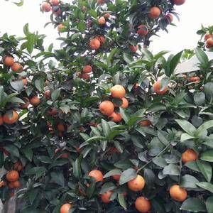广西贺州富川砂糖橘个大,偏红,面干净。