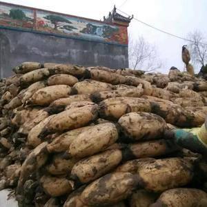 万亩莲藕长期供货