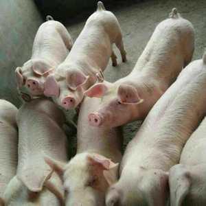 山东仔猪批发《18653552515》,品种有:三元猪,...