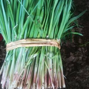 山东莱州韭菜大量供应